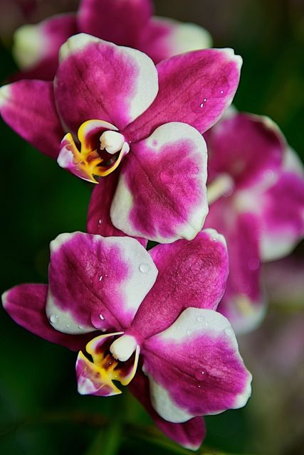 Orchids, orchids, orchids...#orchidshow #nybotanicalgardenBeautiful Flower, Mothers Day, Flower Gardens, Flower Flower, Orchids Orchidshow, Flower Orchids, Flower Frenzy, Botanical Gardens, Favorite Flower