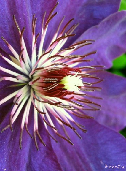 Clematis, found in my uncle's garden. 23.06.2013