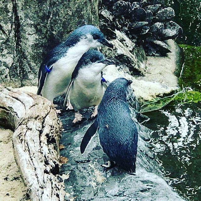The cutest three little blue penguins
