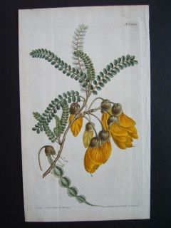 New Zealand Kowhai. Edwardsia. Curtis 1812. Hand colored copperplate engraving. 235 x 145 mm