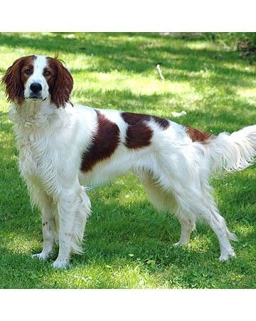 Despite its name, the Irish red and white setter is a distinct breed, not just a different colored version of the Irish setter. Bred primarily for the field, they should be strong, powerful and athletic, with a keen and intelligent attitude.