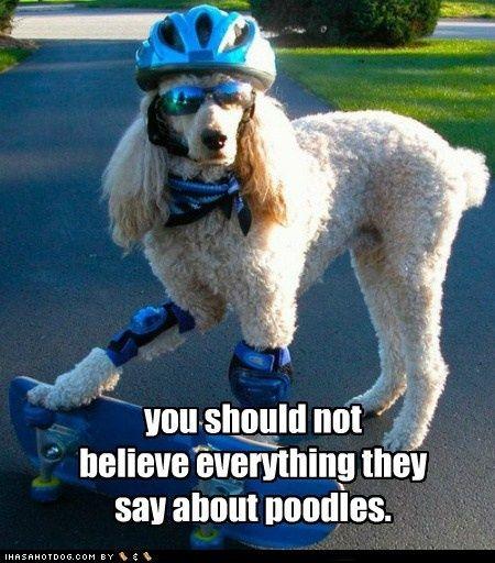 Poodles: Dog Skateboarding, Animals, Dogs, Pet, Funny, Skateboarding Dog, Skateboarding Poodle, Things