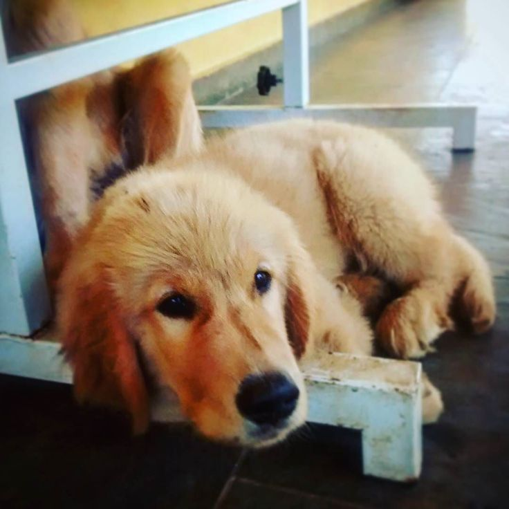Boa tarde amigos véspera de feriadão. Boa sexta-feira!  #kennelgoldenjoy #goldenjoy #goldenjoylord #joylord #goldenretriever #goldenretrievers #thedailygolden #happy_pet #welovegoldens #caninelvoers #instadog #goldenbrasil #goldenretrieversãopaulo #goldenretrieversp #goldenencontro #goldenretrieversofinstagram #goldenretrieverpuppy #goldenretrieverpuppys #goldenretrieverbrasil #goldenretrieverpuppies #goldenretrieverlove #goldenretrieverworld #goldenretrieverofinstagram…
