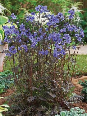 ... Polemonium 'Purple Rain' or Jacob's Ladder ... {2} ... under Oak tree and another end of the house - SHADE - perennial bed ...