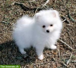 Zwergspitz (Pomeranian) Welpen   Hallo, Unsere superfreundlichen Zwergspitz / Pomeranian-Babys leben in einer kleinen Hobbyzucht mit Mensch, Kind und Katze zusammen und werden bestens auf alles