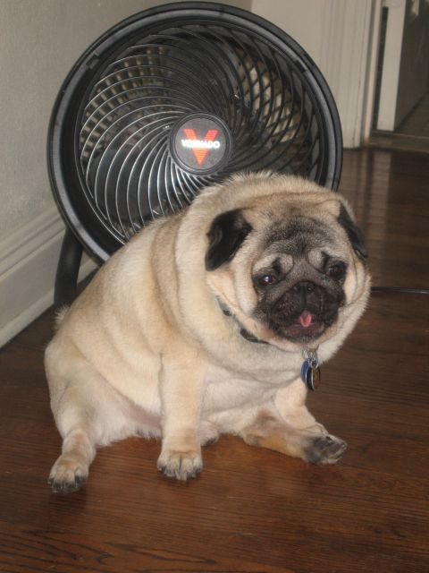 1000+ images about Fat Pug on Pinterest | Twilight ...