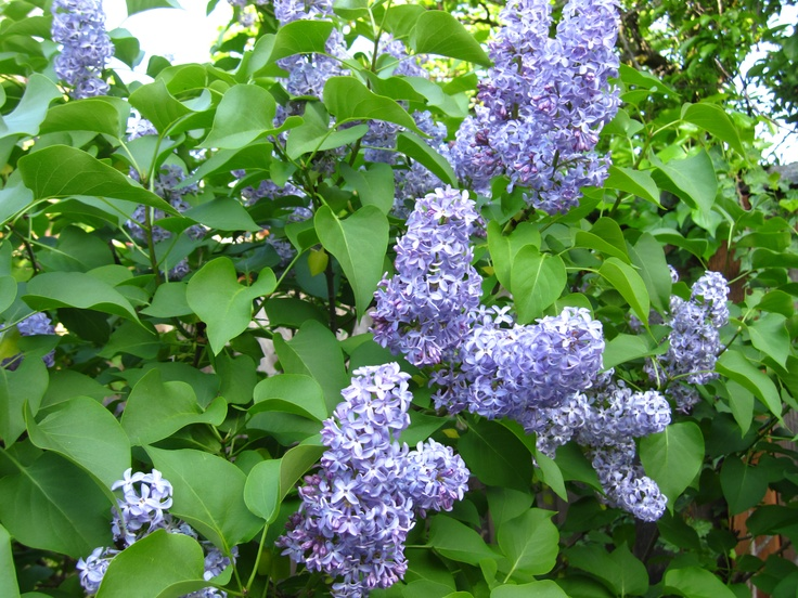 Old fashion Lilac.