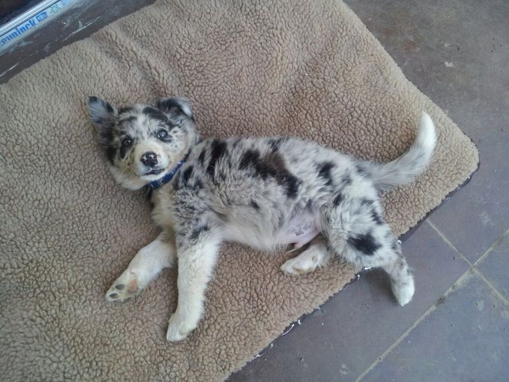 Blue Merle Border Collie ~~•~~•~~•~~•~~•~~•~~• Either this color or brown and white border collie still deciding