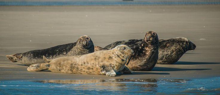 Groepje Grijze zeehonden rustend op het wad. Mannetjes van deze soort zijn zichtbaar groter dan de vrouwtjes. Mannetjes kunnen tot wel 3 m lang worden en 300 kg wegen!