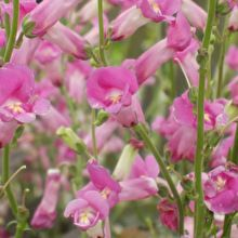 Antirrhinum 'Pretty in Pink'