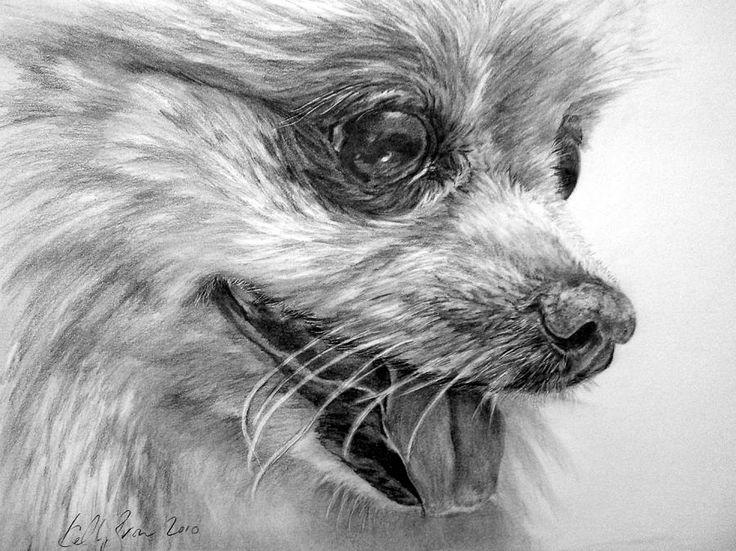 Pomeranian Drawings   Pomeranian Drawing