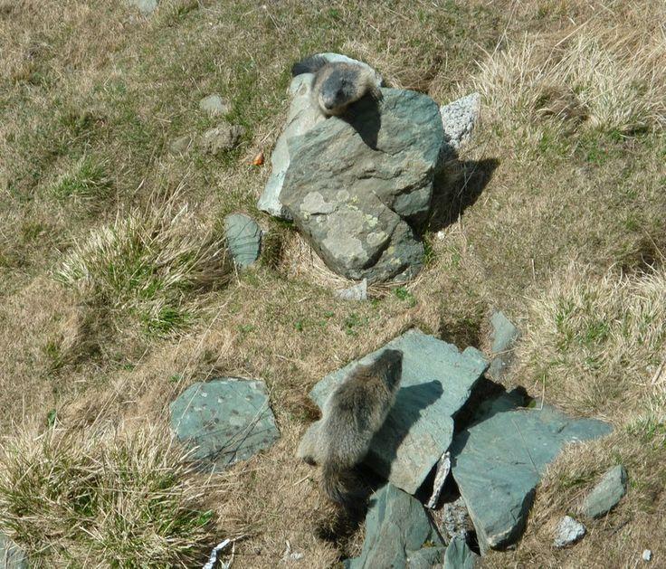 Mormoták a Glockner lábánál