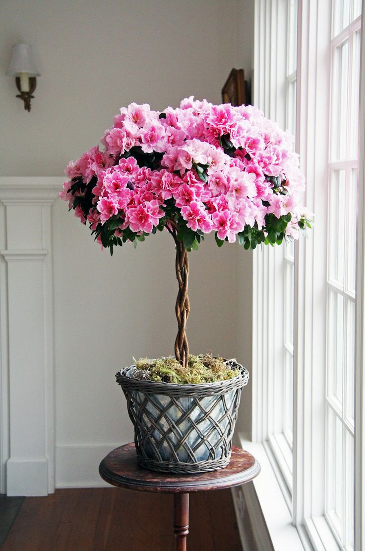 What a beautiful Azalea topiary from Country Farmhouse blog