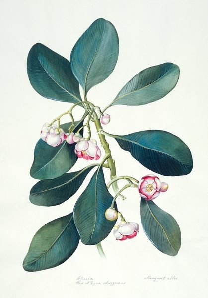 Margaret Mee, Clusia nemorosa, Brazil, Rio Negro Amazonas. Date unknown. Gouache. Catalog of Botanical Illustrations, Department of Botany, Smithsonian Institution