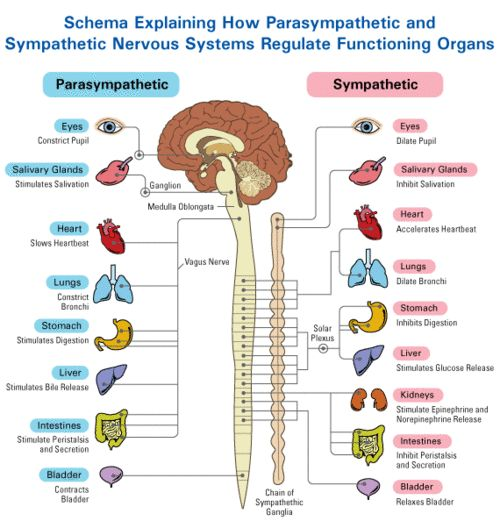 The Autonomic Nervous System Divide: Parasympathetic and Sympathetic Systems