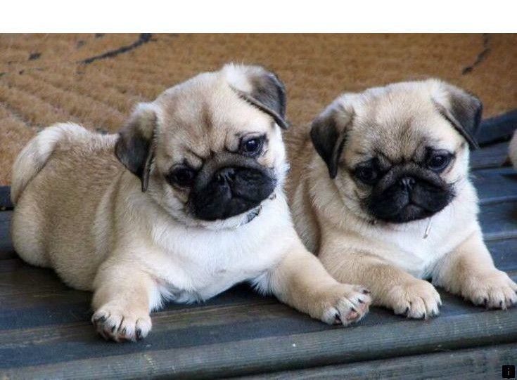 Click On The Link For More Information Cheap Pug Puppies Just