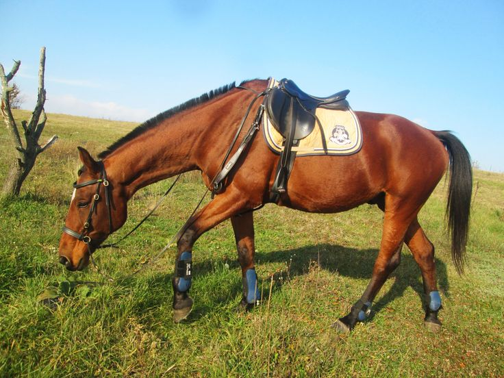 HVPolo saddlepad, QHP Tendon Boots