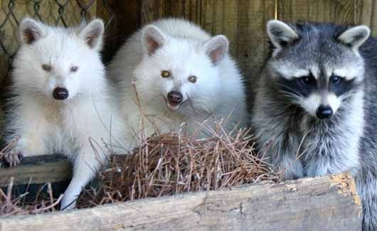 Albino Animals   Animal Pictures and Facts   FactZoo.com