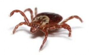 The Deer Tick which transmit Lyme Disease to Human!  #Lyme_Disease_Symptoms