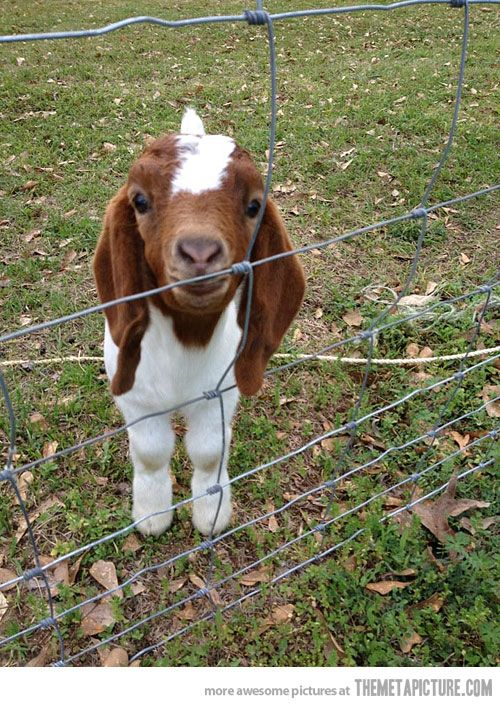 Baby goat! Yes, I will hug you! this is seriously the cutest thing i have ever seen in my life. <3