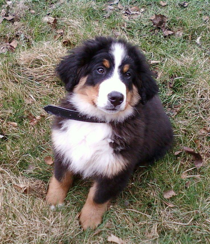 Elessar #dogs #animal #bernese #mountain