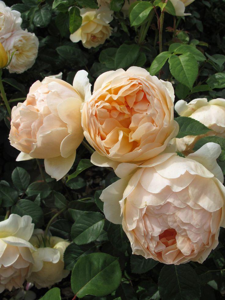 778 besten rosen bilder auf pinterest blumengarten garten pflanzen und pflanzen. Black Bedroom Furniture Sets. Home Design Ideas