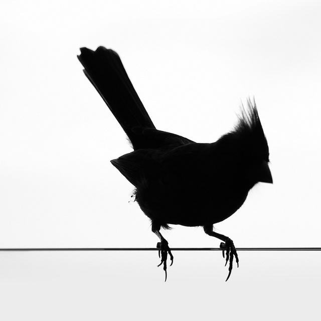 cardinal silhouette - Google Search | Silhouette clip art ...  |Cardinal Silhouette Tattoo