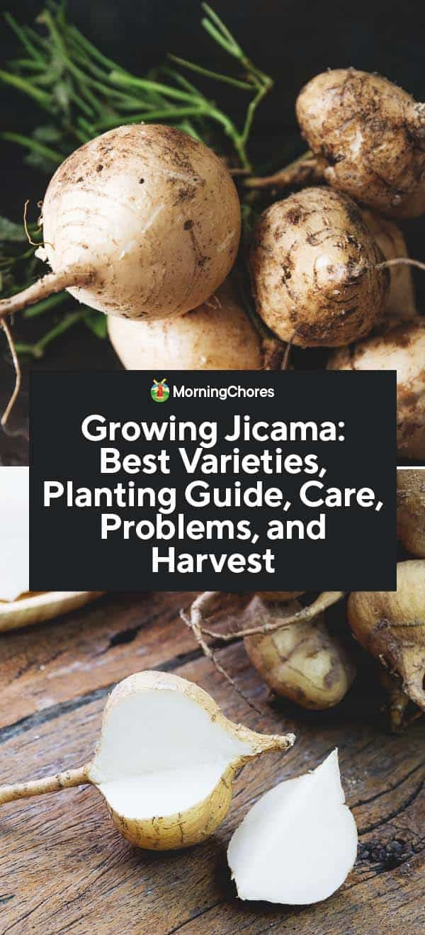 Jicama investment opportunities rice investments llc