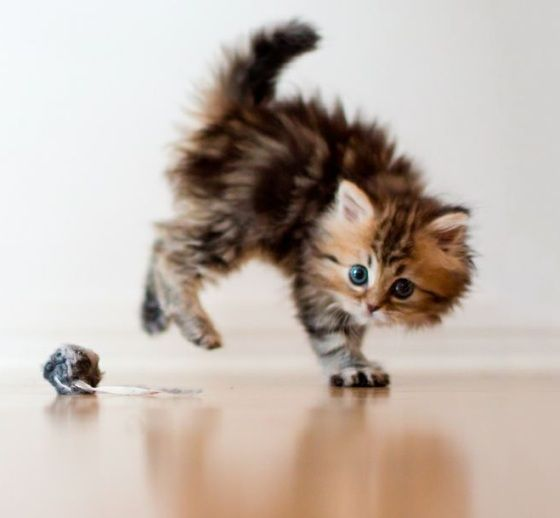 persian kitten plays with her first mouse toy