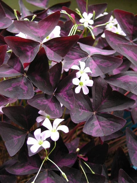 Oxalis Triangularis From Wikipedia Quot Commonly Called False