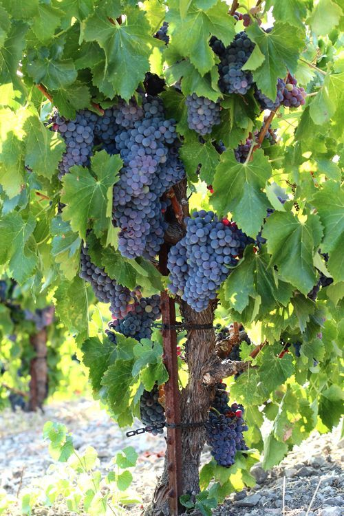 Grenache grapes at harvest time - Tablas Creek Vineyard