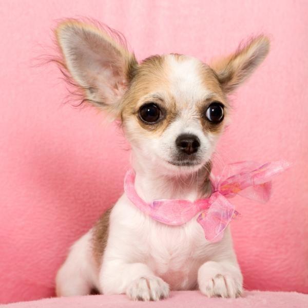 Resultado de imagen para fotos de perros chihuahua