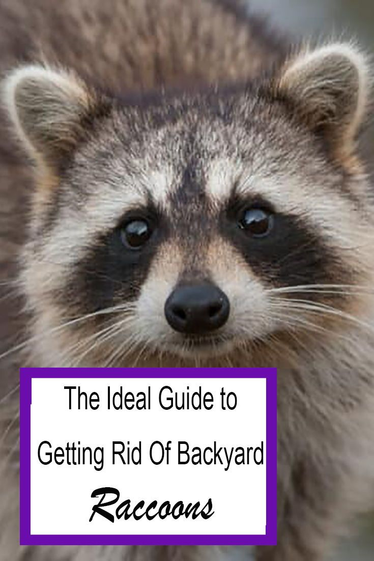 How to Get Rid of Raccoons in Your Backyard Quickly 2020 ...
