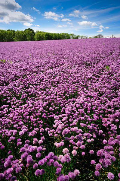 violet field of chive blossoms, Bornholm island, Denmark. Photo: Jacek Kadaj