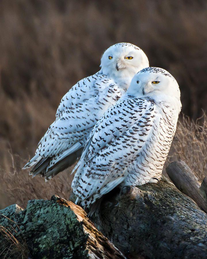Snowy owl pair....