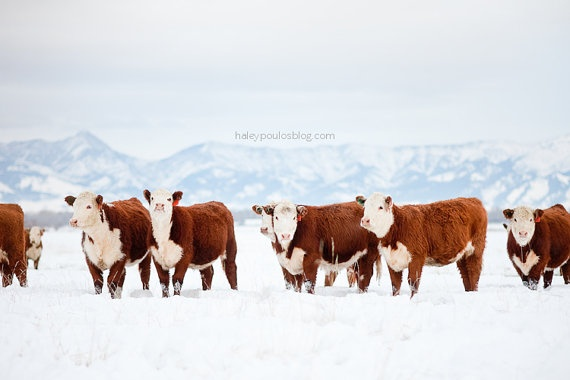 Cow Photograph Hereford Heifers 8 X 12 print by haleypoulosphoto, $32.00