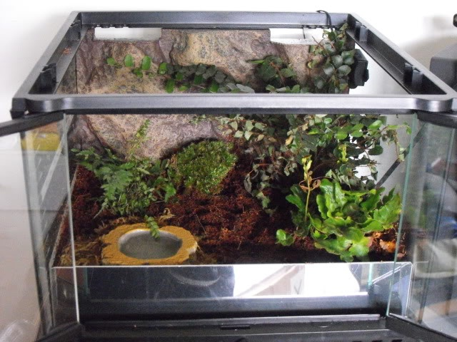 """Type, eg Arboreal, Terrestrial etc. Terrestrial / Burrowing Dimensions 30 x 30 x 30cm Substrate & Decor; type/depth etc. Terra spider 7"""" deep, water dish, live plants. Species, for which it is intended E.murinus ( Skeleton Tarantula ) Any unique Design Features that you feel are important Sheet of acrylic accross front allowing deeper substrate but also allowing access via front doors."""