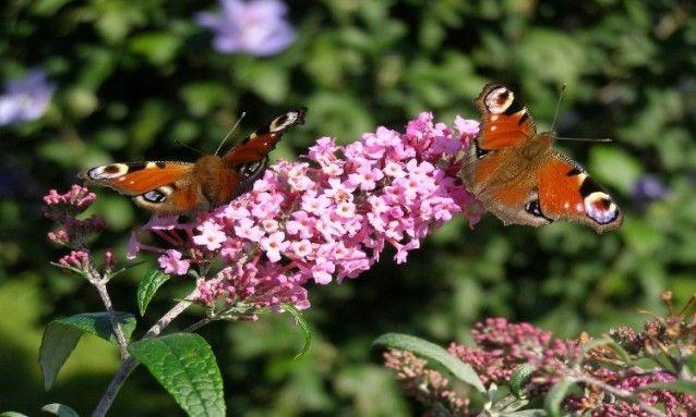 Motýlí keř (Komule Davidova) Buddleia davidii