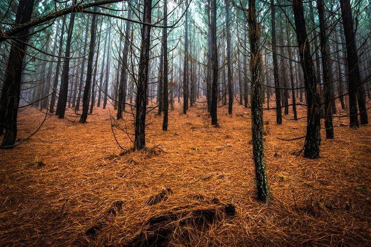 Pine Forest in Kaapsehoop