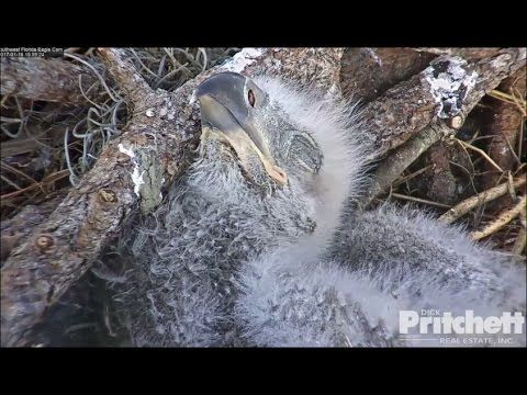 SWFL Eagles ~ CAMS BACK LIVE!; Fresh Fish Delivery 1.16.17