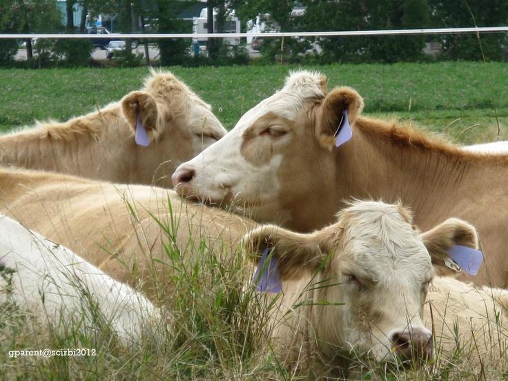 Vaches dans le prés.