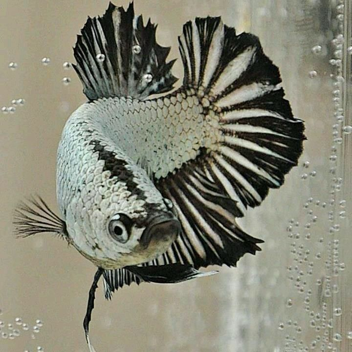 107 best pretty fish images on pinterest betta for Siamese fighting fish crossword