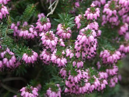 Winterheide, Schneeheide (Erica carnea) - hardy, Blooming in winter