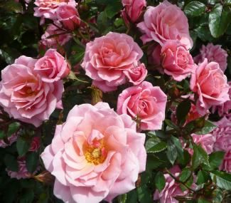 MARRY ME (Dicwonder) 1998                   £6.95  Another rose for the romantics! Miniature HT shaped blooms of camellia pink almost smother the foliage during first flowering.  Plant is well rounded, and though a little taller that most Patio varieties, it is one of the best in its class.