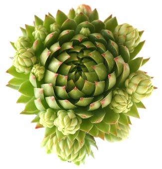 How to Plant Hens and Chicks | Growing Succulents - Purchased a 12pack today at Lowe's, can't wait to plant