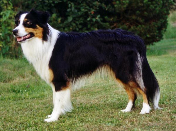 Australian Shepherd Black Tri australian shepherds - black tri future dog pinterest