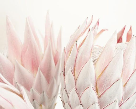 A Beautiful Protea Print With Soft Blush Pink Tones Perfect For Your Beautiful Home You Can Download And Print This File Protea Art Protea Flower Pink Tone