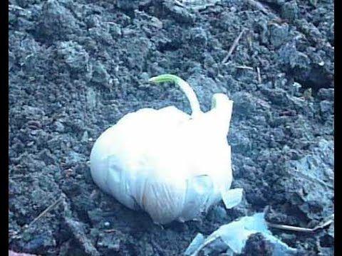 Φυτεύω σκόρδο