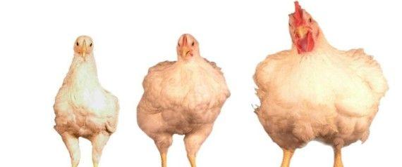 PHOTOSSINTESE.BLOG.BR: Por que as galinhas de hoje em dia são tão maiores...