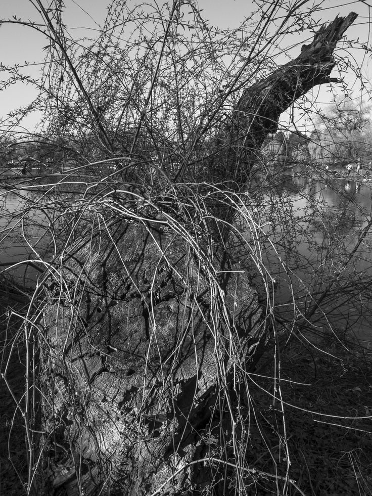 park, trees, willow, lake, tree, black and white, sky, shadows, water, abstract